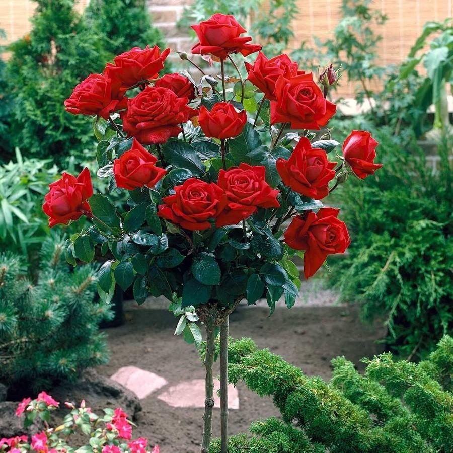 rosas en el jardn
