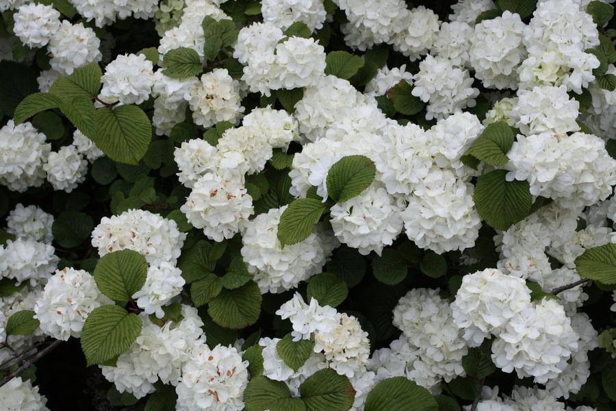 Plantas arom ticas que perfumar n tu jard n todo el a o for Arboles perennes en argentina
