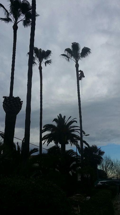 Poda de palmeras wasintonias altas