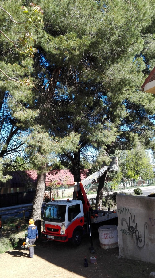 Poda de sanamiento de pino de gran altura