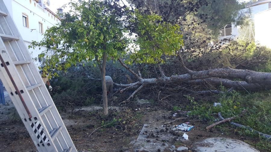 Retirada de ramas pino pasionario enfermo.
