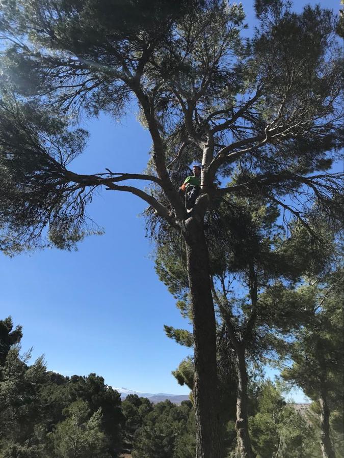 Subida en gran pino