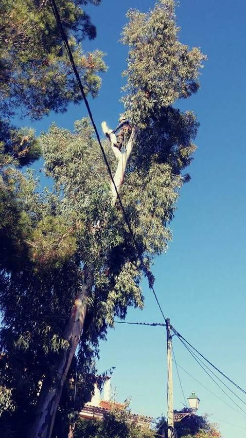 Tala de eucalipto