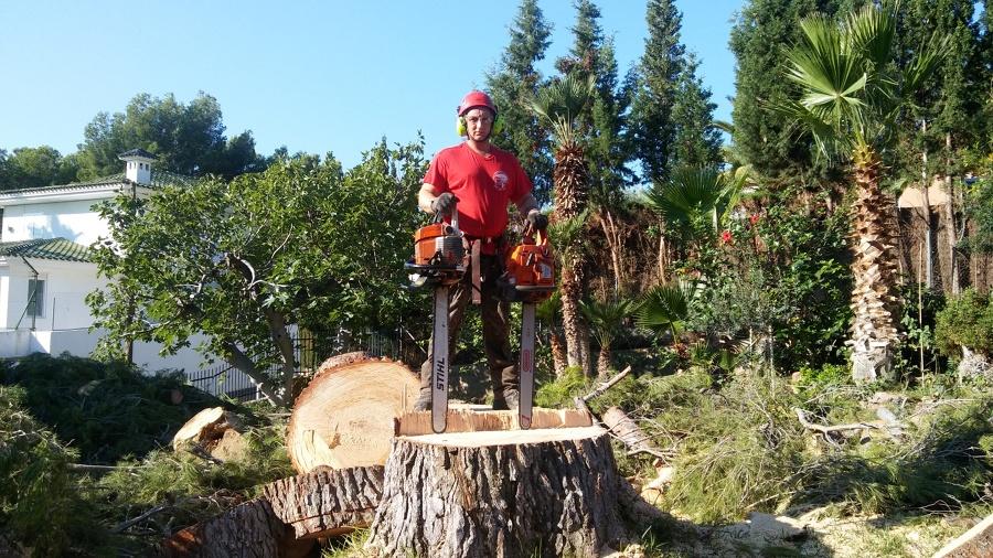 Tala de pino enorme