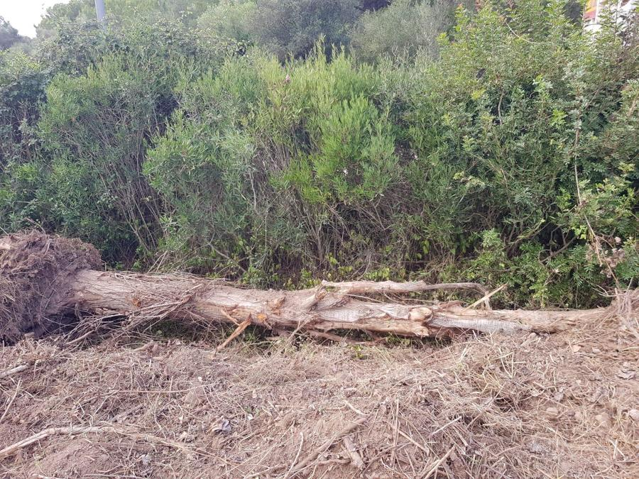 tala de pino seco
