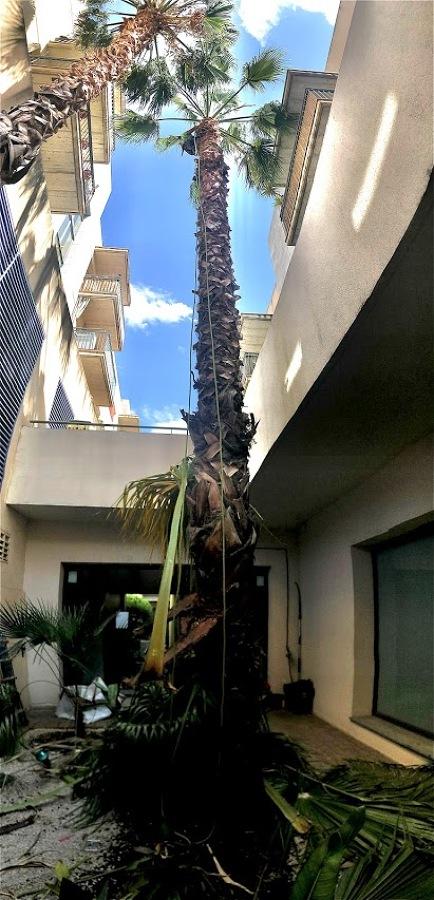 Terminando de podar una de las palmeras