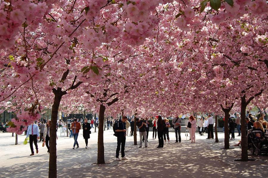 Túnel-Cherry-Blossom-Alemania