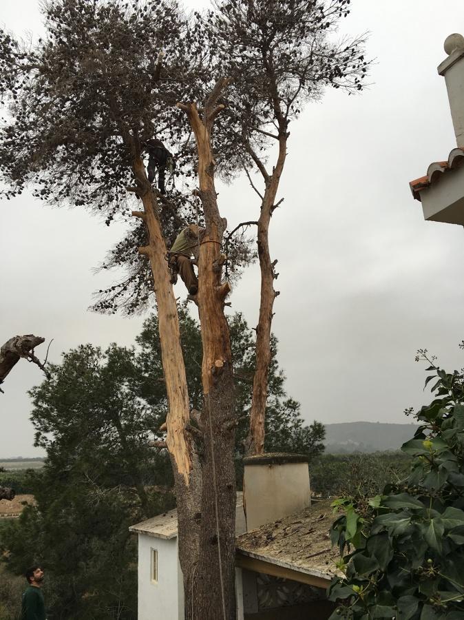 Vista del pino seco