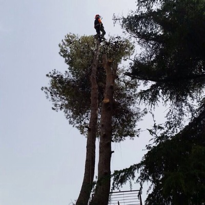 Tala de pino halepensis de 20 metros de altura en Segovia