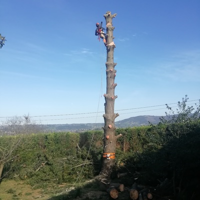 Tala de pino de en Gijón