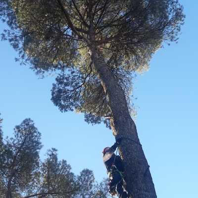 Tala de pino