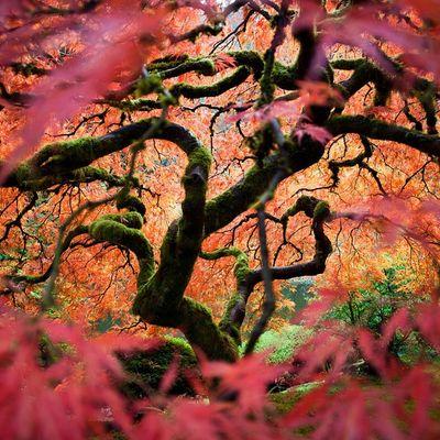 Arce japonés, un precioso árbol para tu jardín