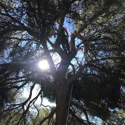Poda de pinos y arreglos por ramas tronchadas