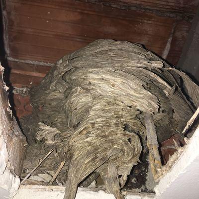 Avispero en falso techo de vivienda