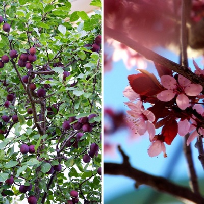 Árboles frutales para sembrar en septiembre y octubre