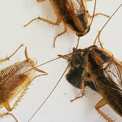 Consejos para evitar una plaga de Cucarachas