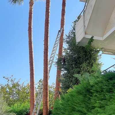 limpieza de unas palmeras de mucha altura