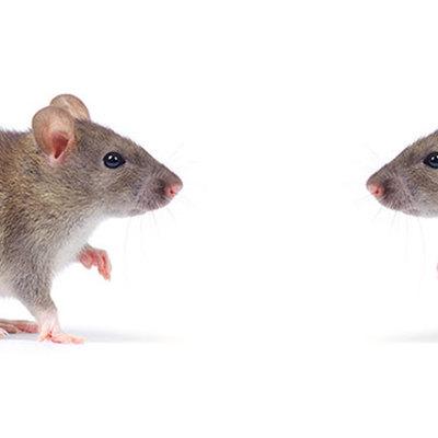 Lo que debes saber sobre los ratones
