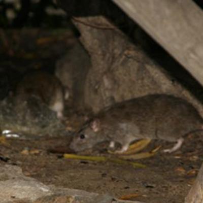 Tratamiento contra ratas en un chalet