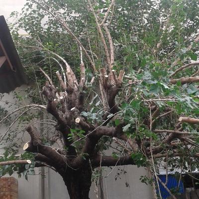 Talar un árbol. Morera grande 25 años