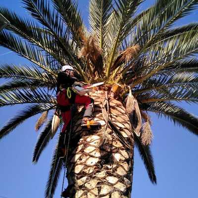 Tala de palmera