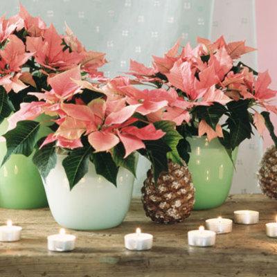 Flor de pascua con color