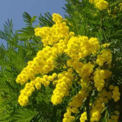 Aprende a plantar mimosas en tu jardín