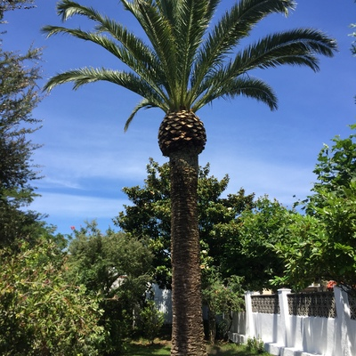 Poda de mantenimiento de palmera canaria en Salinas - Asturias
