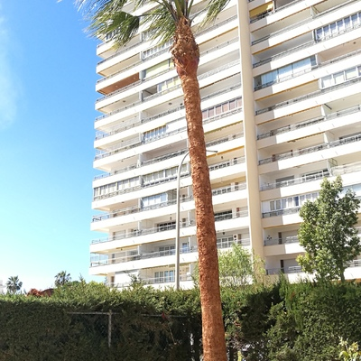 Afeitado de palmera datilera y Washingtonia