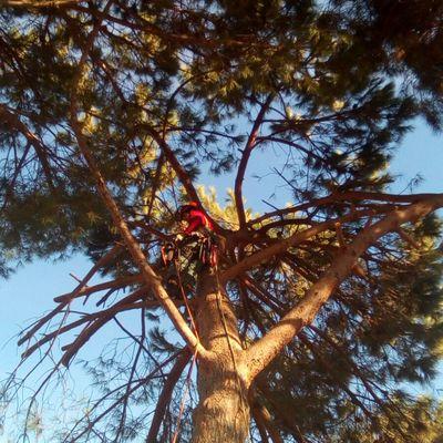 Poda y tala de grandes árboles