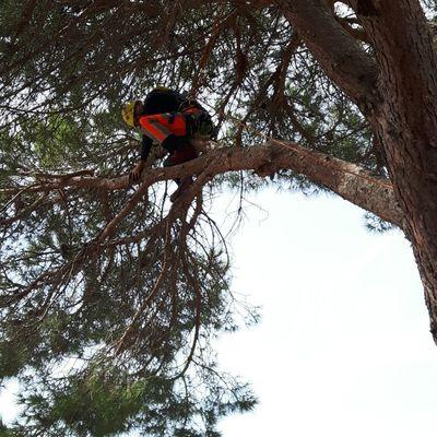 Poda de pino con descarga controlada