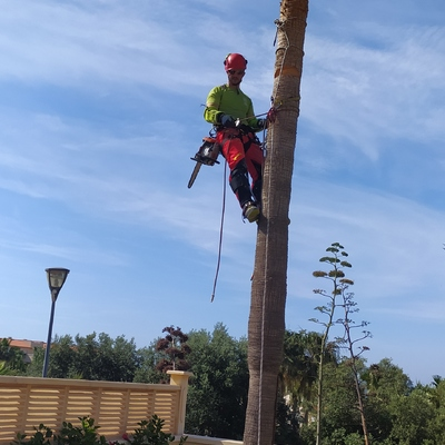 Tala de pino piñonero con sistema de trepa
