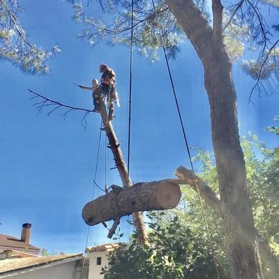 tala de pino piñonero