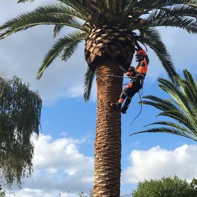 Poda de dos palmeras en Rodiles
