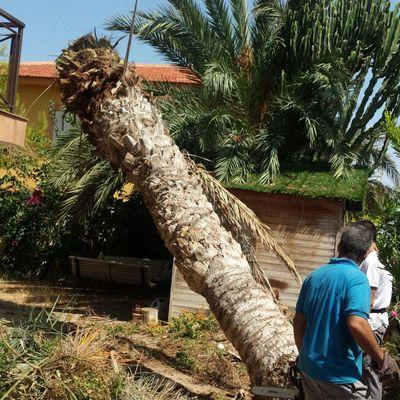 Talado de palmeras