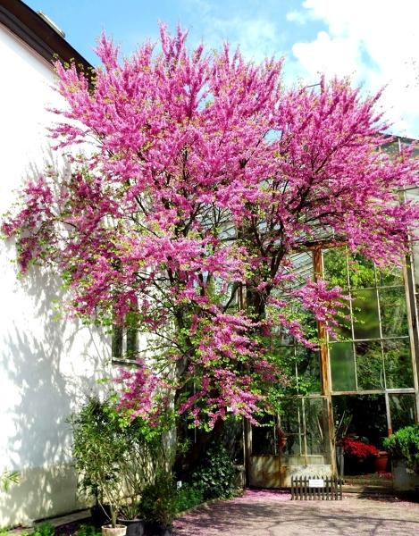 Cómo Plantar Y Cuidar Tu árbol Del Amor Ideas Paisajistas