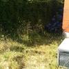 Aspecto de las hortensias antes ser saneadas