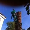 Derribo de palmera fenix canariensiss
