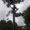 Talar un pino de 10m