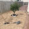 Plantación del olivo.