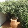 Zona de estar en patio lateral, jazmín de olor y pérgola