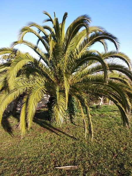 ¿Cuál es la especie de esta palmera?