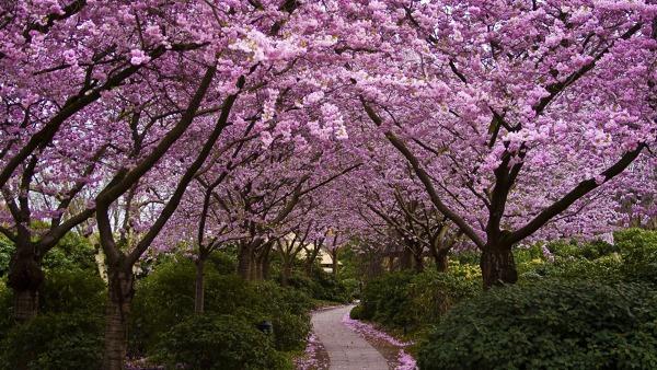 ¿Qué precio tendría un cerezo japonés?
