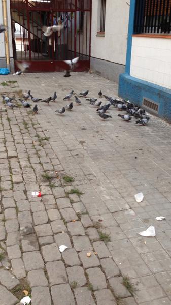 ¿Cómo se capturan las palomas?