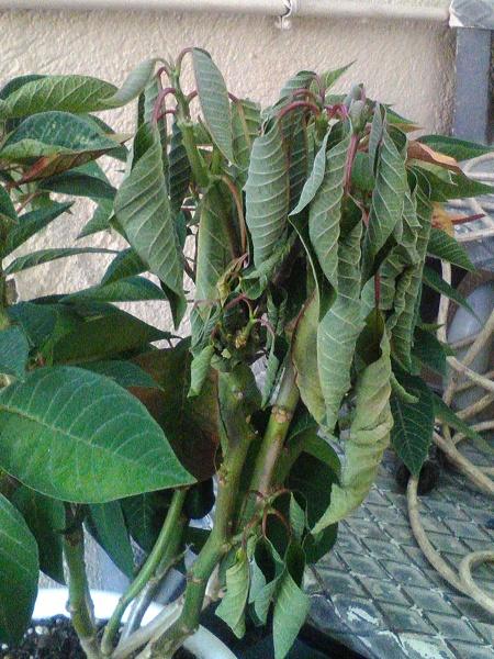 ¿Por qué las hojas comienzan a perder fuerza y caen?