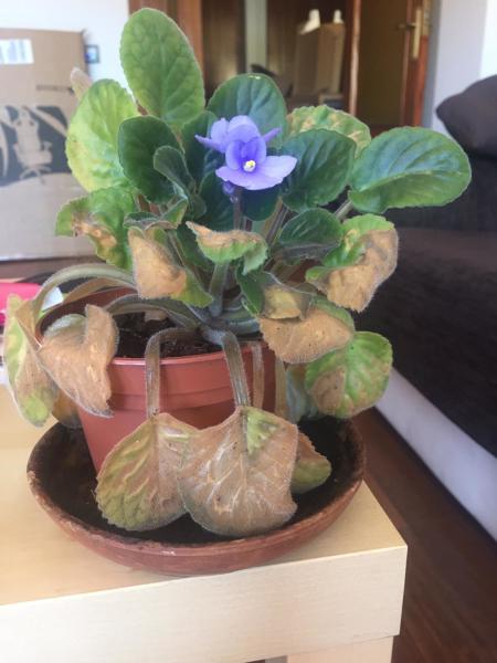 ¿Puedo recuperar esta planta violeta?