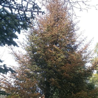 Tala de arbol pino muerto en zonas comunes alcobendas for Tala de arboles madrid