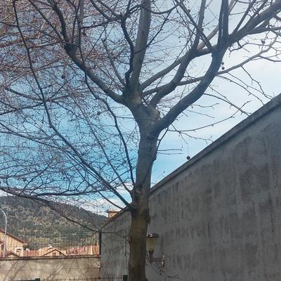 Poda de rboles bonico parra madrid habitissimo - Poda de arboles madrid ...