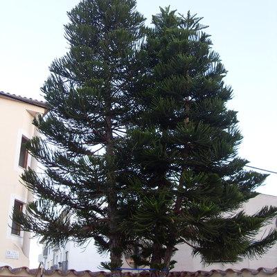 Quitar rbol de pisos y podar ficus benjamina biniagual - Ficus benjamina precio ...