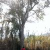 Cortar un arbol de unos 25m